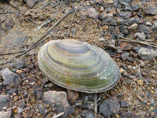 Anadonta cygnea - Gewone zwanenmossel