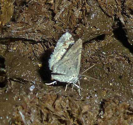 Catarhoe rubidata - Bonte walstrospanner