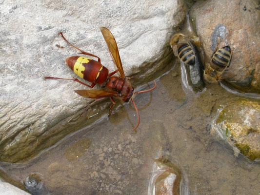 Vespa orientalis - Oosterse hoornaar