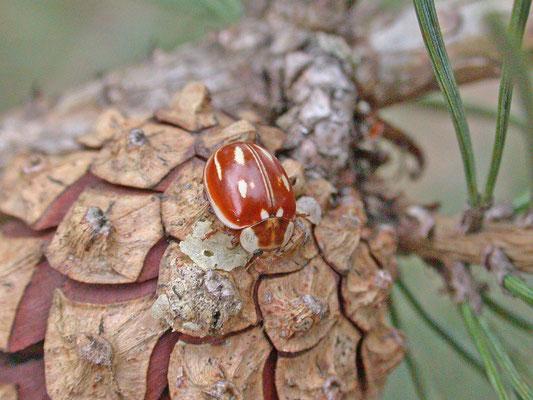 Myzia oblongoguttata - Gestreept lieveheersbeestje
