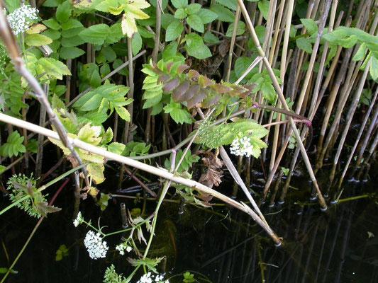 Berula erecta - Kleine watereppe