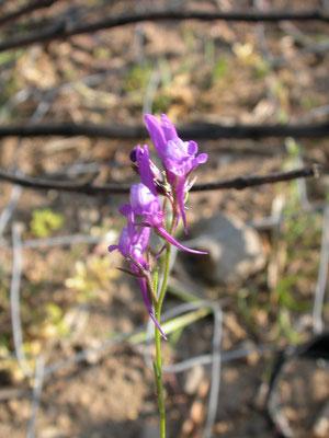 Linaria arvensis - Blauwe leeuwenbek