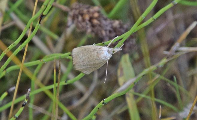 Calamotropha paludella - Lisdoddesnuitmot