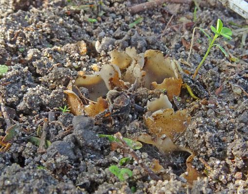 Geopora arenicola - Zandputje
