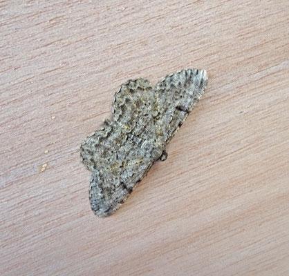 Peribatodes rhomboidaria - Taxusspikkelspanner
