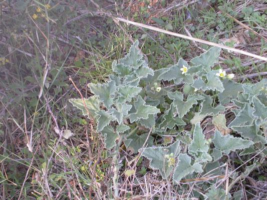 Ecballium elaterium - Springkomkommer