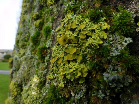 Xanthoria parietina - Groot dooiermos