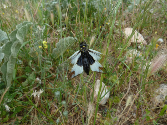 Libelloides ottomanus