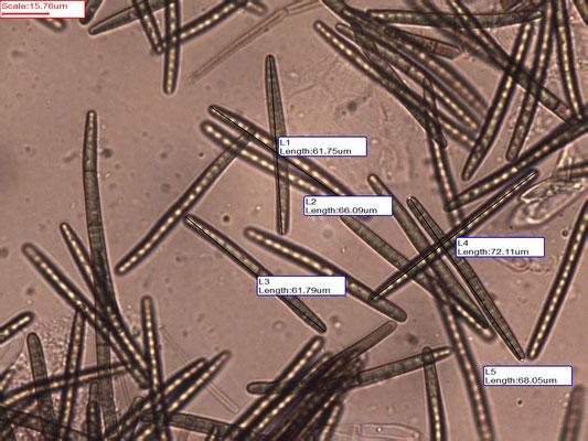 Geoglossum glutinosum - Kleverige aardtong