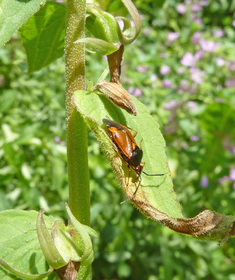 Deraeocoris ruber - Rode halsbandwants