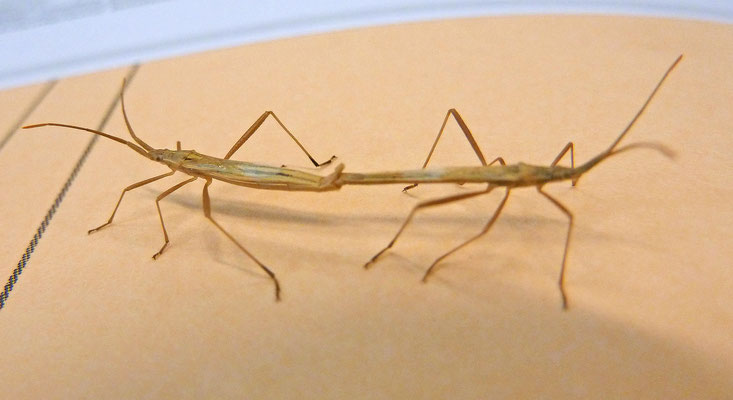 Chorosoma schillingii - Grote slanke glasvleugelwants