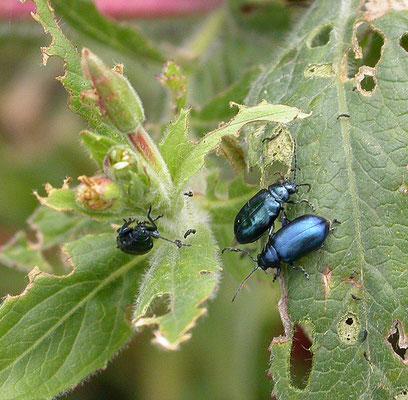 Altica oleracea - Teunisbloemaardvlo