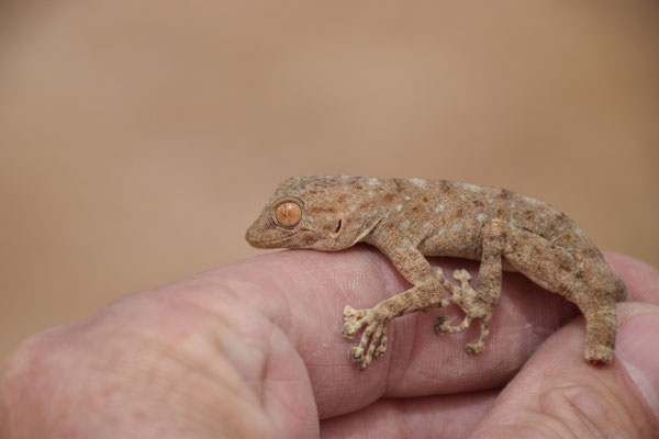 Sinai bladvingergekko (Ptyodactylus guttatus)