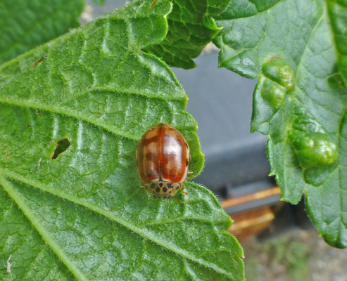 Harmonia quadripunctata - Harlekijnslieveheersbeestje