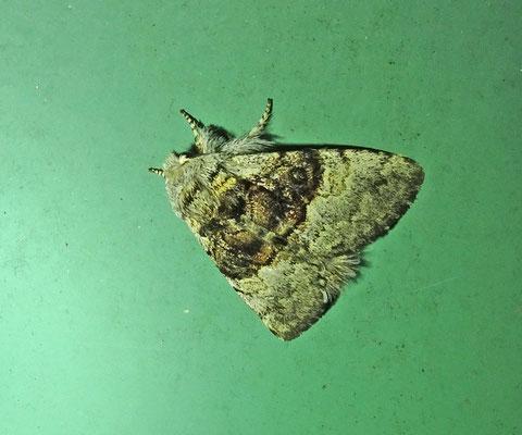 Colocasia coryli - Hazelaaruil