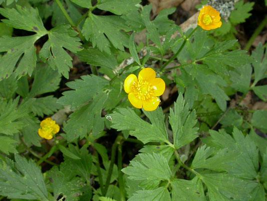 Ranunculus  bulbosus - Knolboterbloem