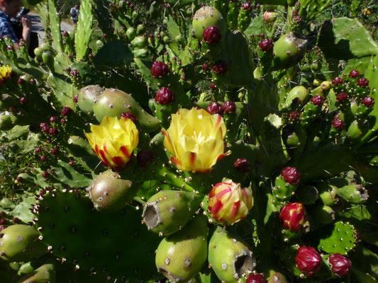 Opuntia ficus-indica - Barbarijse vijg
