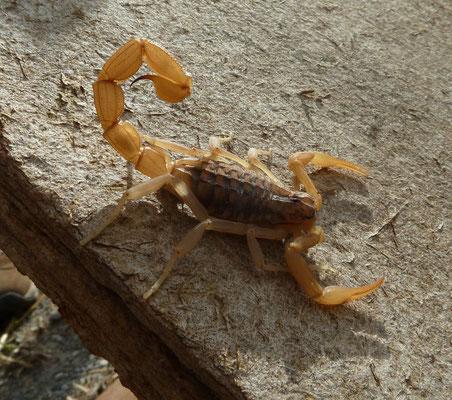 Mesobuthus gibbosus
