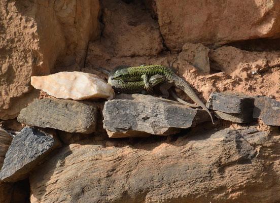 Ruinehagedis - Podarcis sicula cett