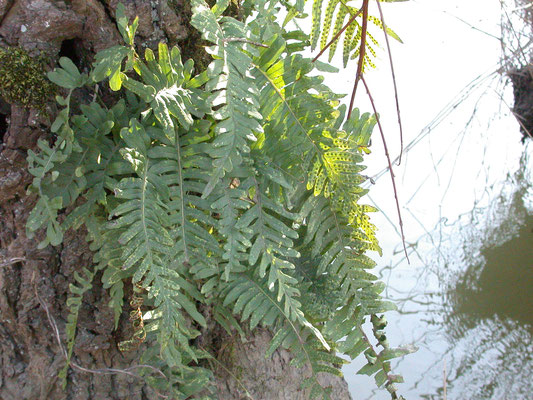 Polypodium vulgare - Gewone eikvaren