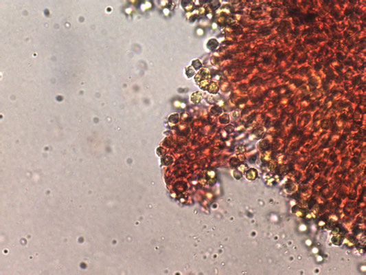 Clavulinopsis helveola - Gele knotszwam