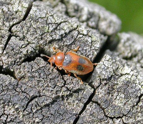 Coccidula scutellata - Gevlekt rietkapoentje