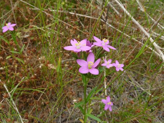 Centaurium erythraea - Echt duizendguldenkruid