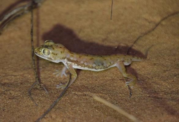 Anderson's kortvingergekko (Stenodactylus petrii)