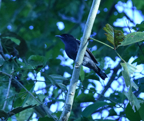 White-winged Becard, male