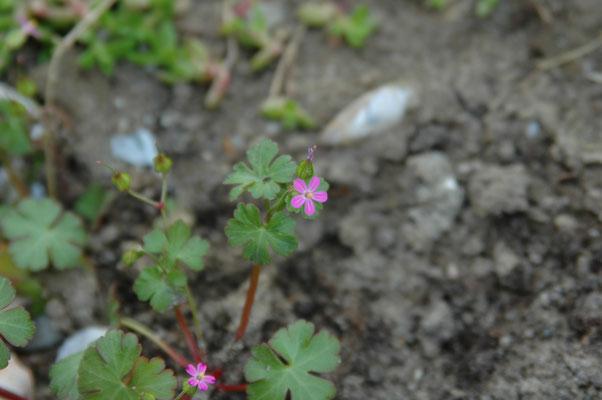 Geranium lucidum - Glanzige ooievaarsbek