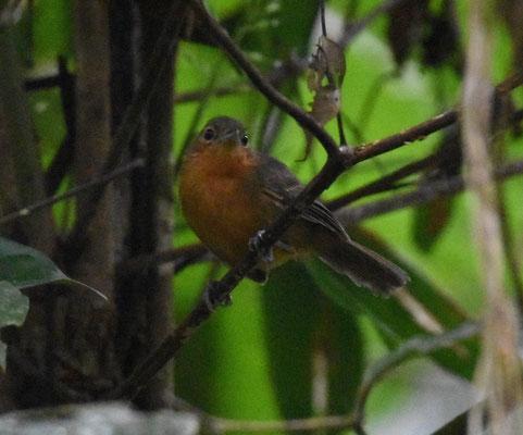 Dusky Antbird, female