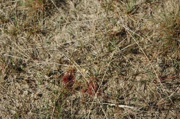 Spergula morisonii - Heidespurrie