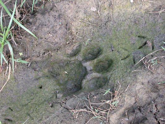 voetspoor jaguar