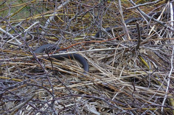 Ringslang (Natrix natrix) nr.1 en Russische rattenslang nr 4