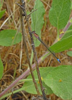 Ischnura elegans ebneri