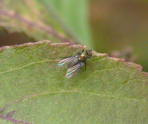 Medetera species