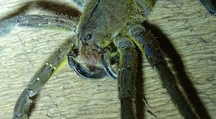 Braziliaanse zwerfspin - Phoneutria nigriventer