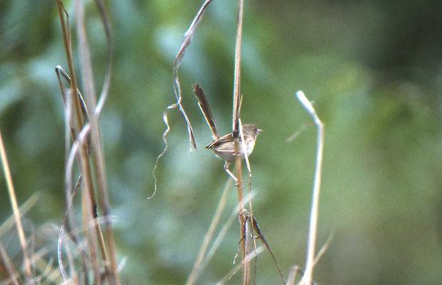 Red-backed Fairy-wren, female