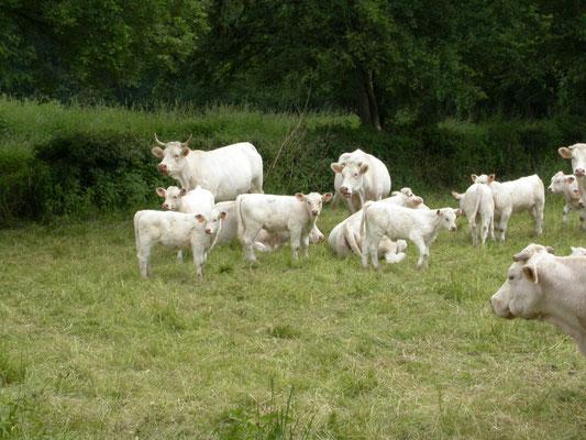 Limogen koe