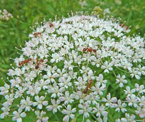 Myrmica species (rubra ws)