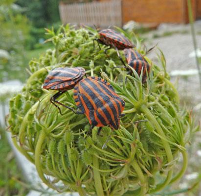 Graphosoma lineatum - Pyamawants