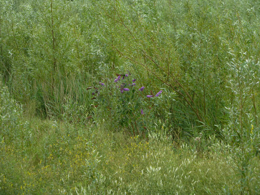 Buddleja davidii - Vlinderstruik