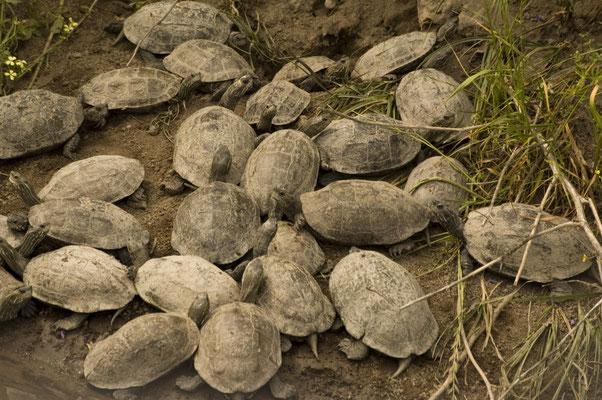 Balkanbeekschildpad