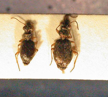 Asaphidion curtum en Asaphidion flavipes