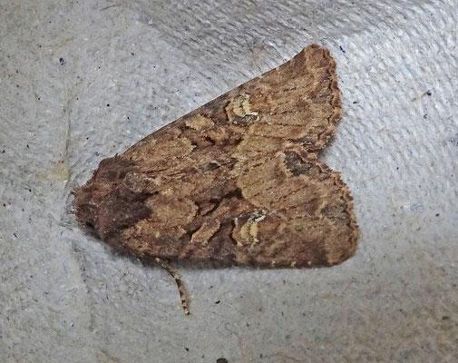 Mesapamea secalis_secalella - Halmrupsvlinder_Weidehalmuiltje
