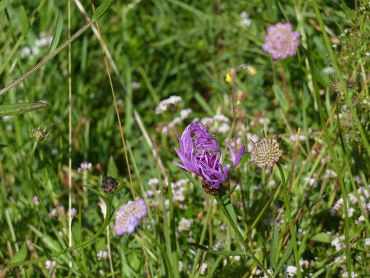 Centaurea montana - Bergcentaurie
