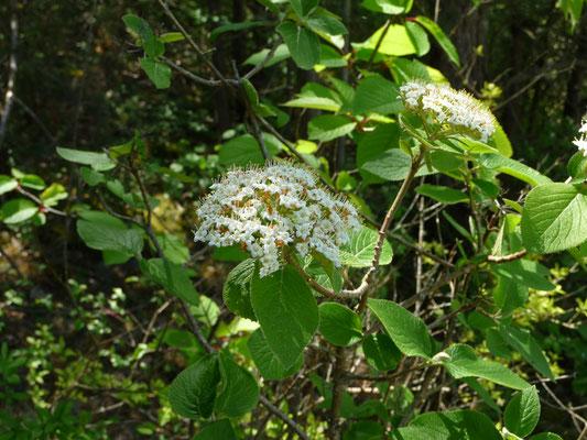 Viburnum lantana - Wollige sneeuwbal