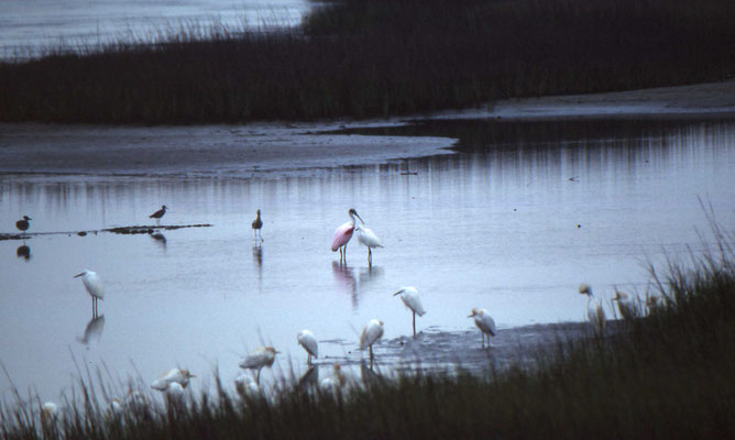 Great Egret, Cattle Egret en Roseate Spoonbill