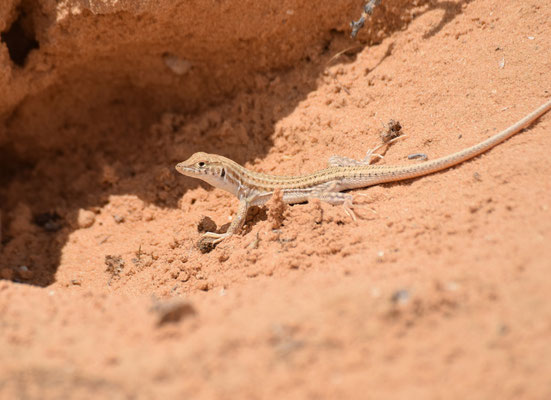 Acanthodactylus boskianus asper