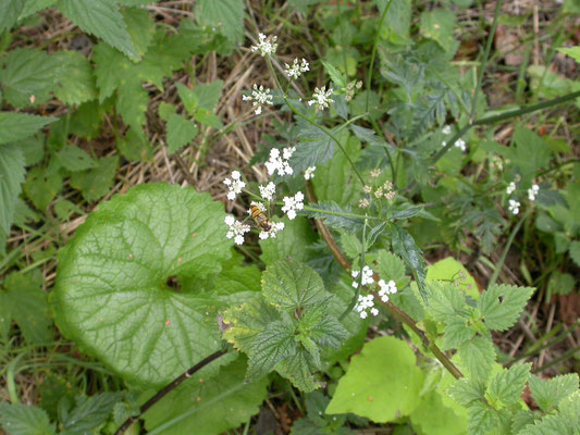 Chaerophyllum temulum - Dolle kervel